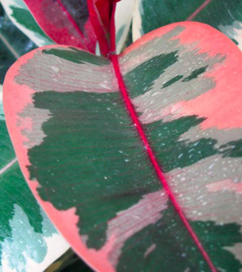 "Ficus Elastica ""Belize"""