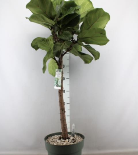 Ficus Lyrata (tüvel)