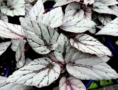 "Begonia Beleaf ""Arctic Breeze"""