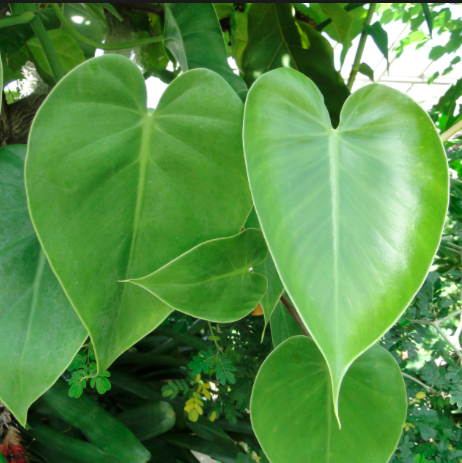 Philodendron Scandens (väike)