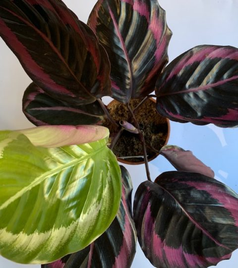 "Calathea Roseopicta ""Little Princess"""