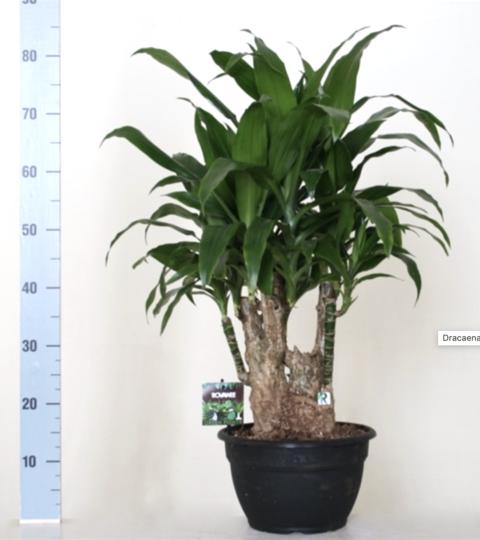 Dracaena Fragans Janet Craig (bonsai)