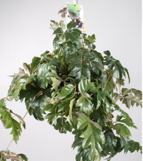 "Cissus Rhombifolia ""Ellen Danica"""