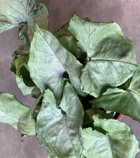 Syngonium Podophyllum 'Roxanna'