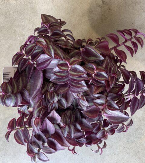 """Tradescantia Zebrina """"Purple Passion"""""""