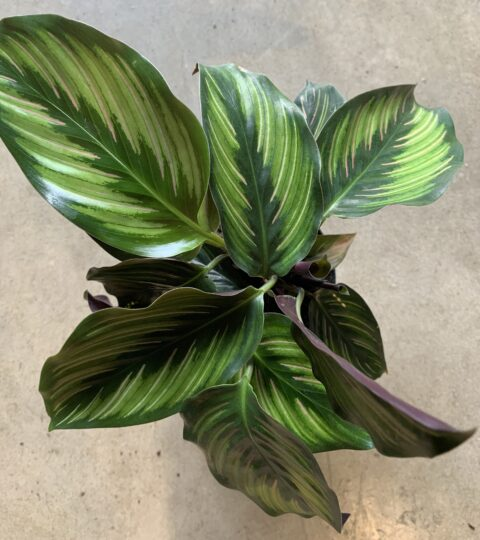 "Calathea ""Beautiful Star"""