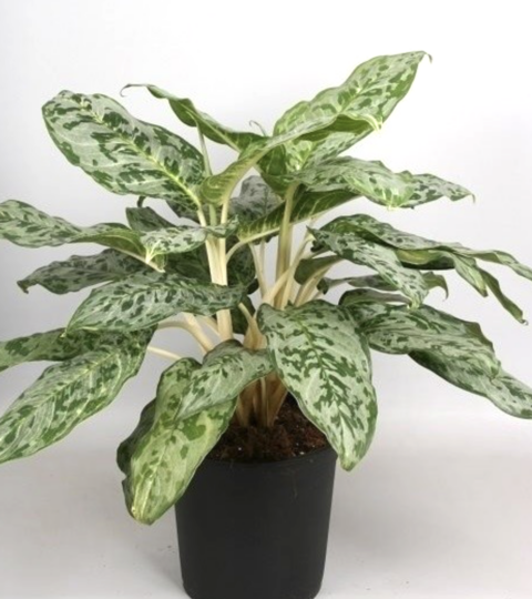 "Aglaonema ""Peacock"""