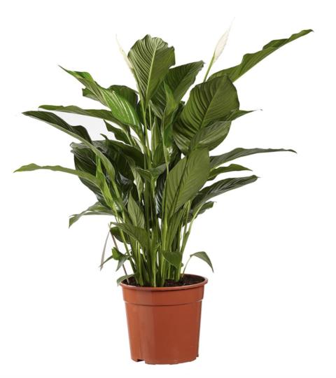 Spathiphyllum 'Sweet Lauretta'