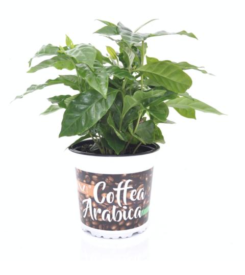 Coffea Arabica, Dekoratiivümbrises