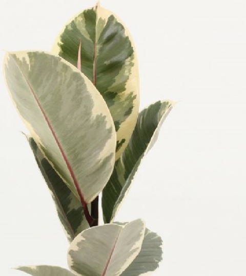 "Ficus Elastica ""Tineke"""