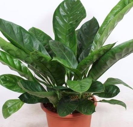 """Anthurium Ellipticum """"Jungle King"""""""