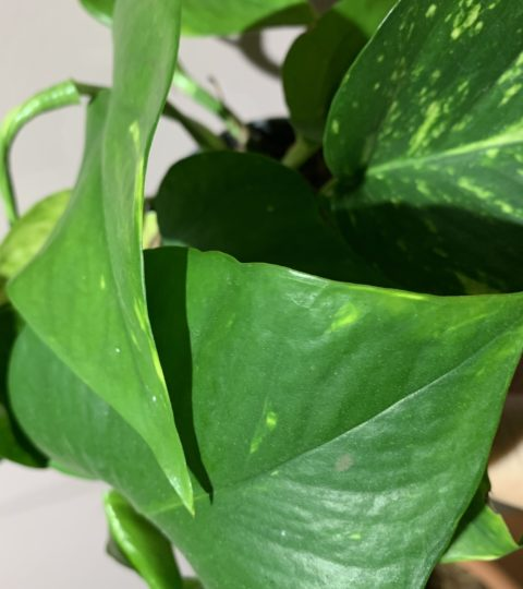 """Epipremnum Pinnatum """"Aureum"""""""