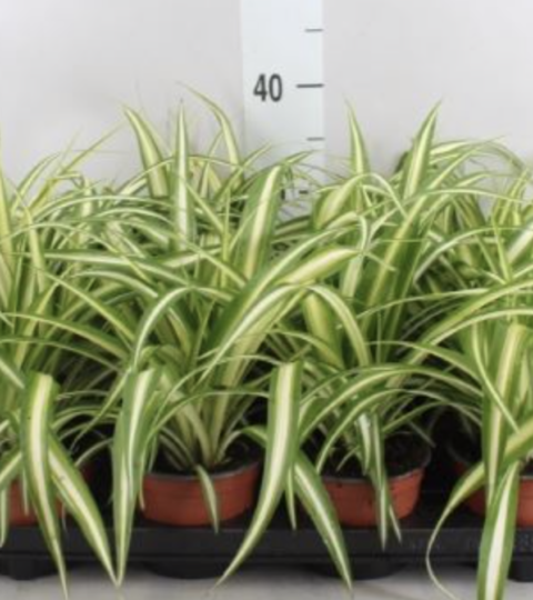 "Chlorophytum Comosum ""Variegatum"""