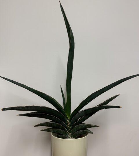 Sansevieria Ehrenbergii (robusta)