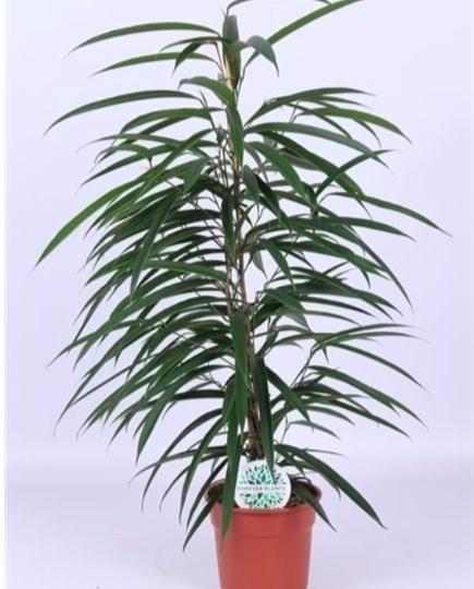 Ficus Binnendijkii Alii