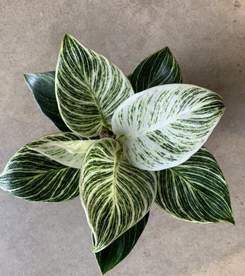 """Philodendron """"White Measure"""" (Birkin)"""