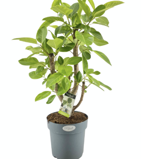 Ficus Benghalensis Altissima