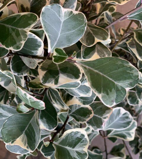 Ficus Triangularis 'Sweetheart'
