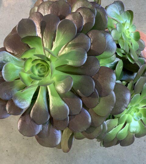 """Aeonium Arboreum """"Velours"""""""