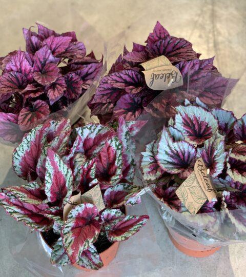 Begonia Beleaf Valik