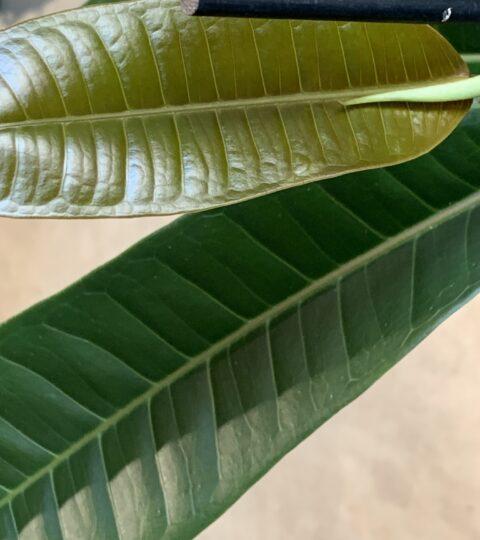 Ficus Americana Subsp. Guianensis