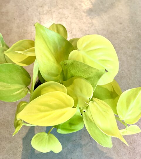 """Philodendron Hederaceum """"Lemon Lime"""""""