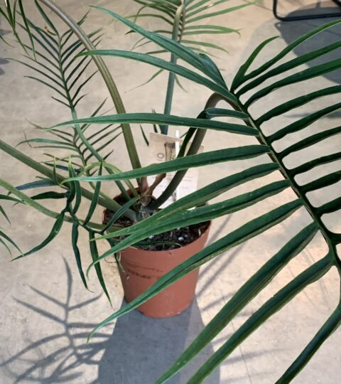 Philodendron Bipinn. Tortum