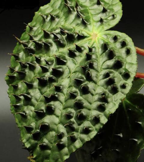 Begonia Ferox