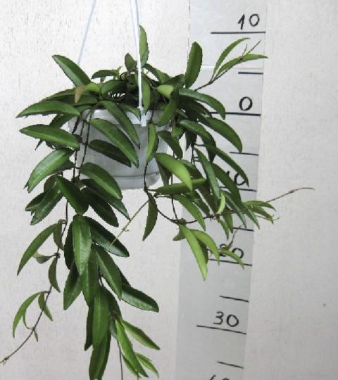 """Hoya Longifolia """"China Beans"""""""