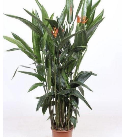 Heliconia Psittacorum Curacao