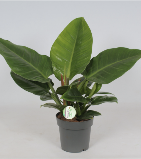 """Philodendron """"Imperial Green"""""""